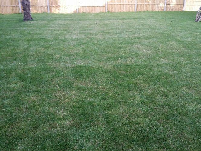 New grass turning straw-like