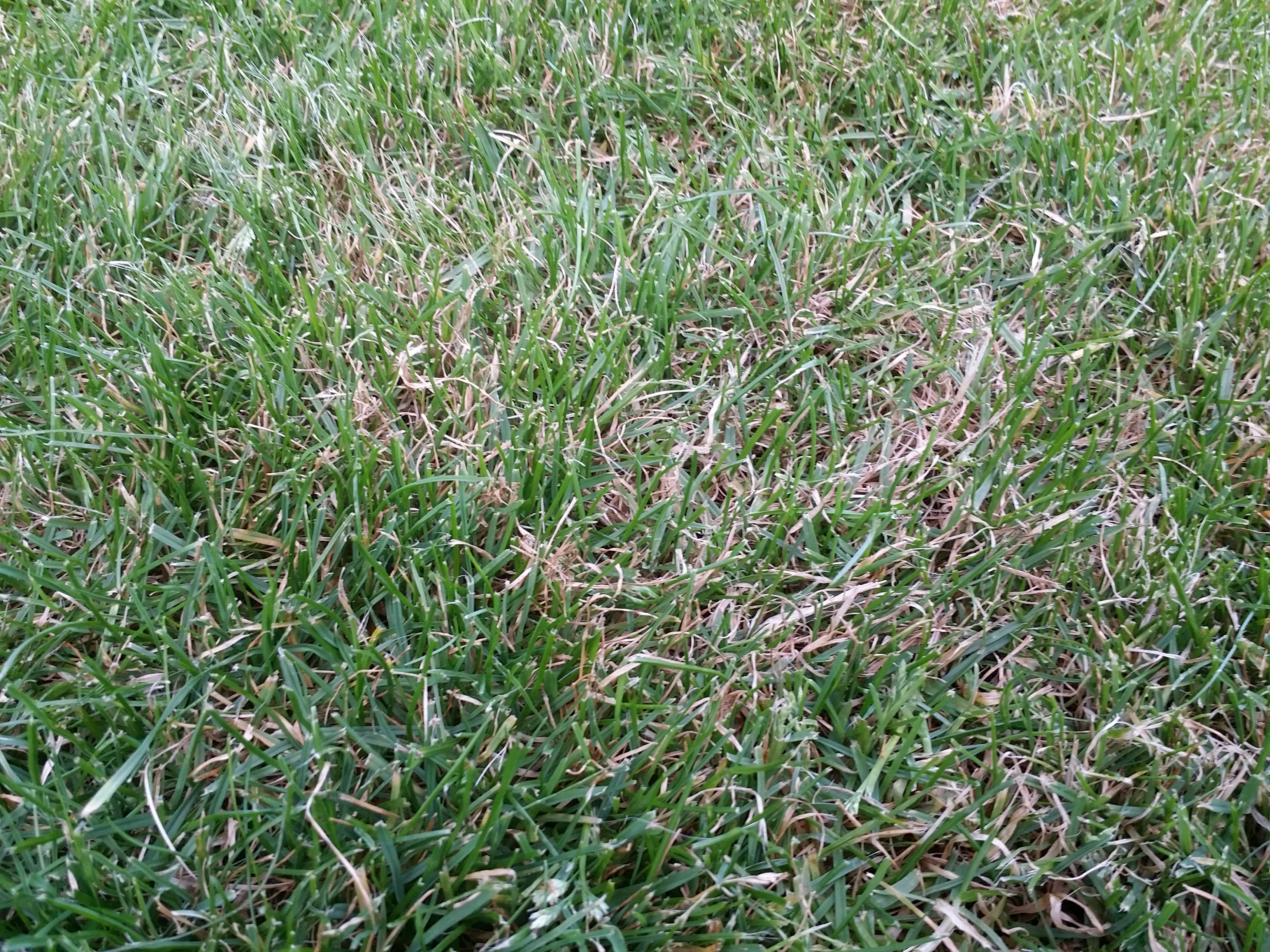 New grass turning straw-like - zoomed in