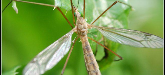 A crane fly