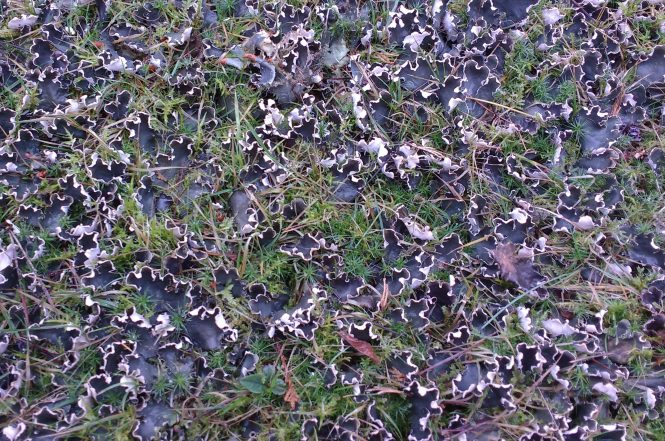 A lawn covered with Dog Lichen