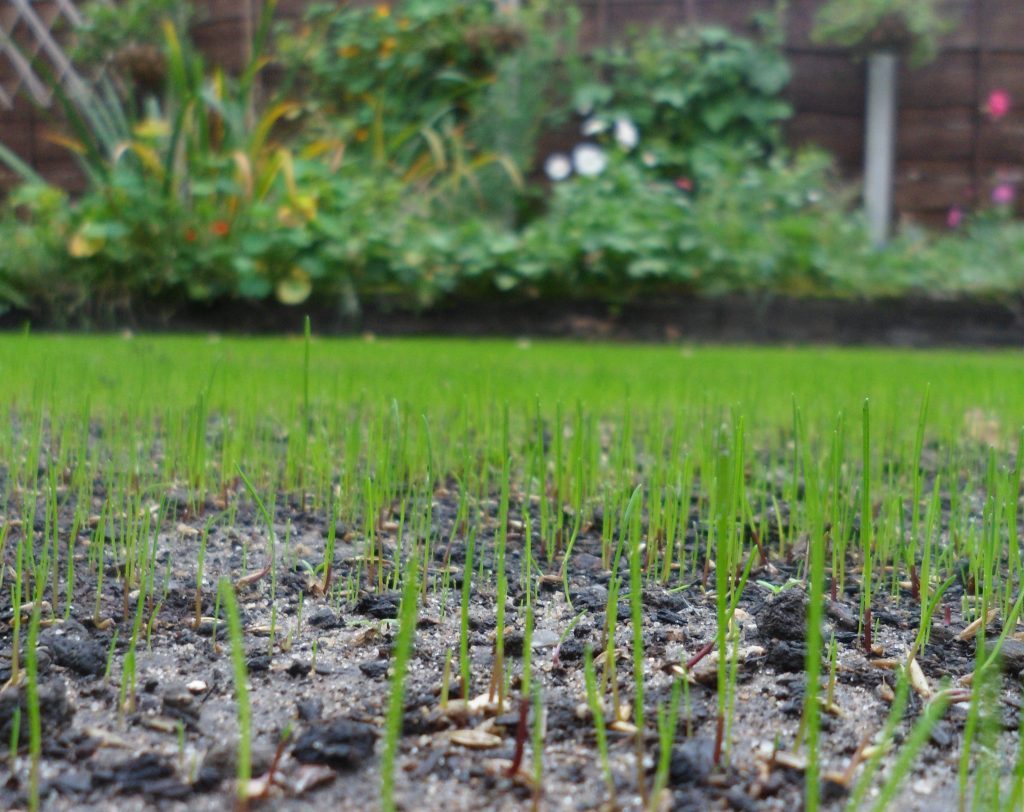 New grass emerging on a back yard lawn in St. Sidwells in Exeter.