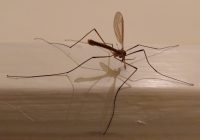 An adult crane fly (Tipulidae)