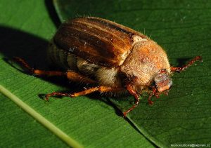An adult summer chafer beetle (amphimallon solstitiale)