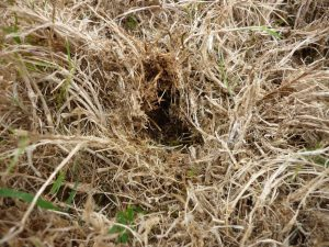 Thatch in a lawn from over-fertilisation