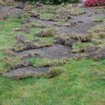Chafer Grub damage to a lawn