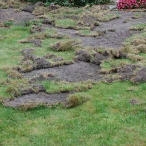 Chafer Grub damage to a lawn