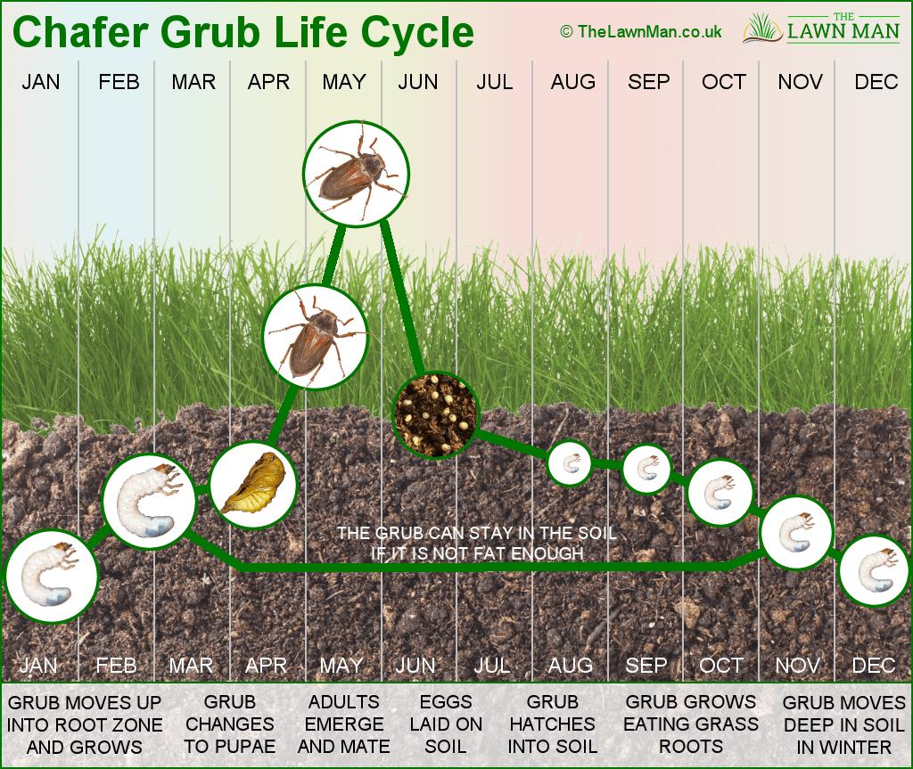 Diagram  Dung Beetle Diagram Full Version Hd Quality Beetle Diagram