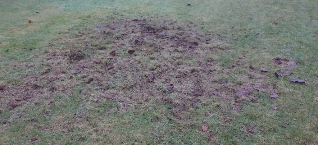 The area of chafer grub damage in which the digging up chafer grubs video was taken