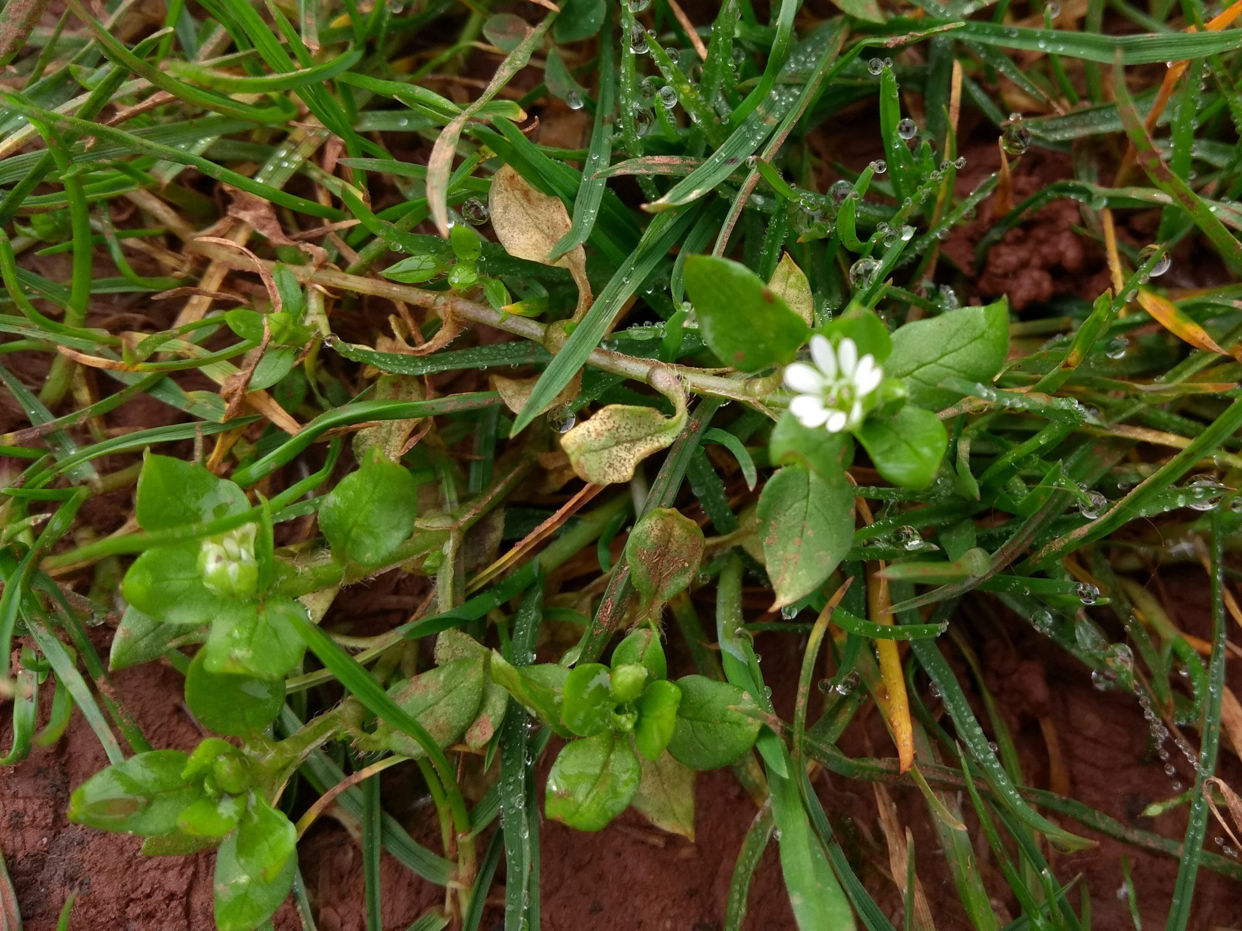 Spotting common chickweed amongst grass plants