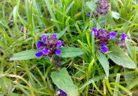 Common self-heal plant