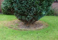 A conifer tree in a lawn