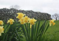 Daffodils in grass