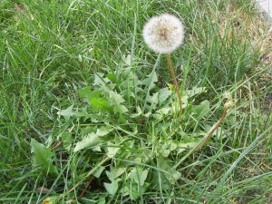 A dandelion going to seed