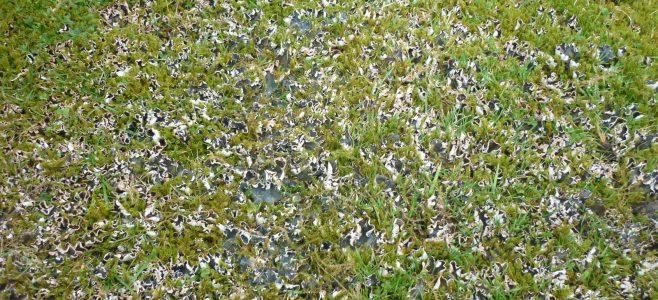 Dog Lichen on a Lawn