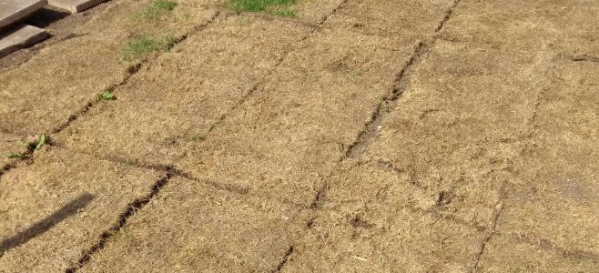 Terrible turf which has dried out