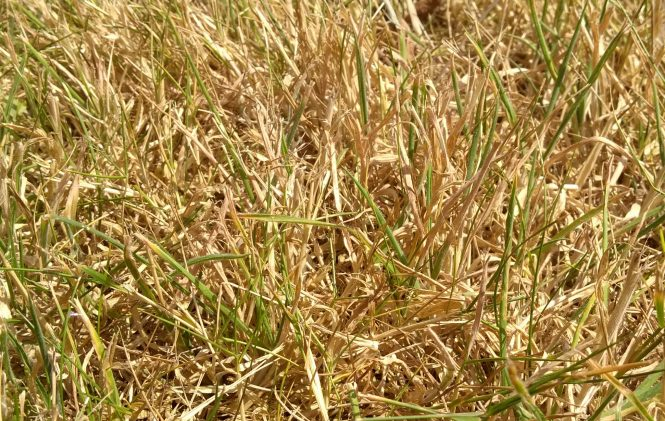 Dry grass during a UK heatwave