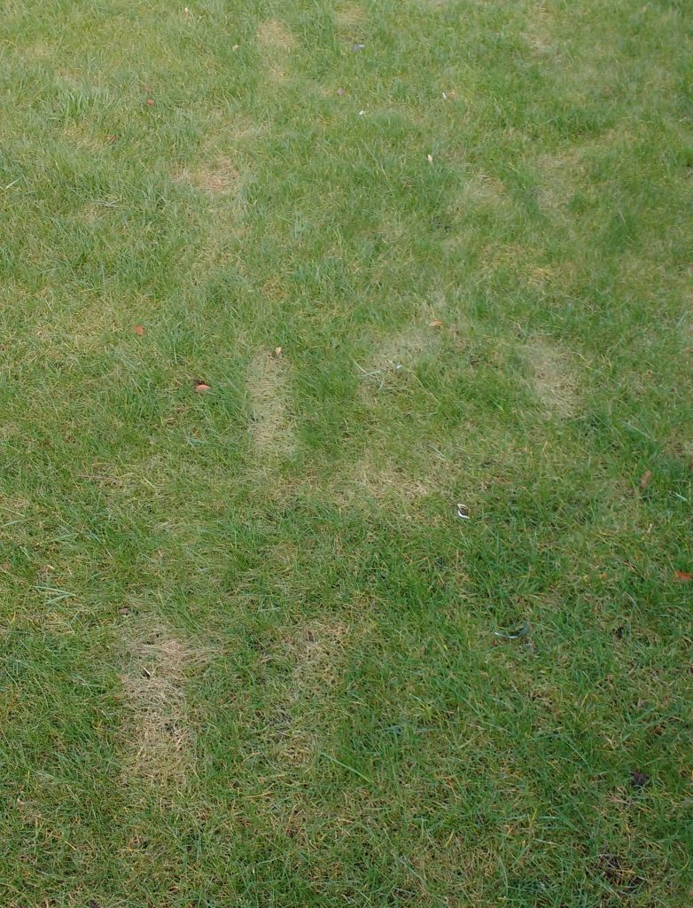Frost damage caused by walking on a frozen lawn