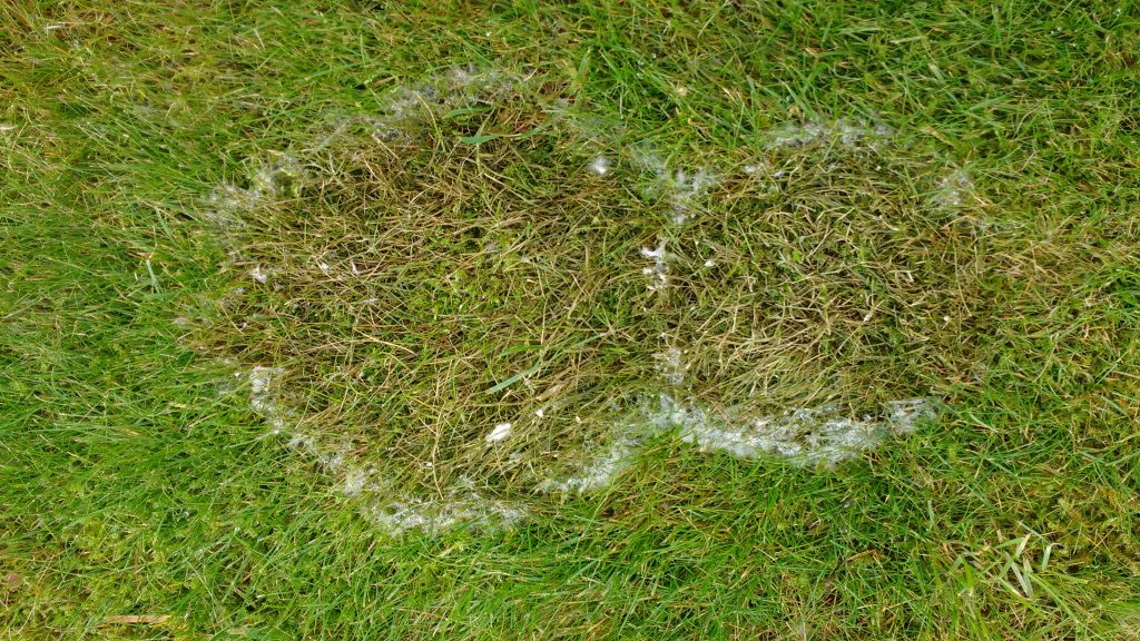 Fusarium Patch infection - The Lawn Man