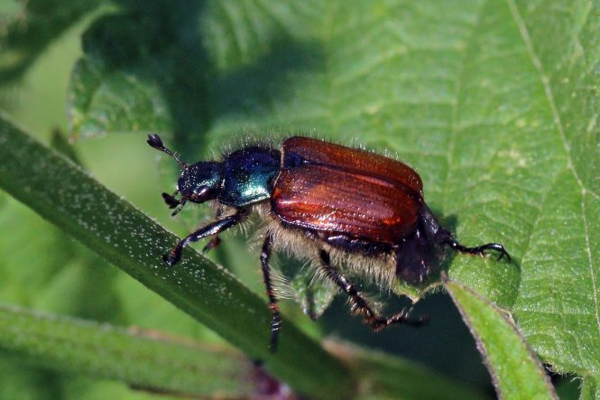 A garden chafer beetle (Phyllopertha horticola)