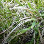 Grass mown with blunt blades