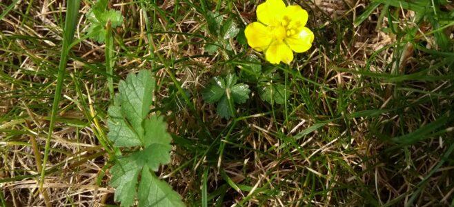 Creeping cinquefoil (potentilla reptans) plant and flower