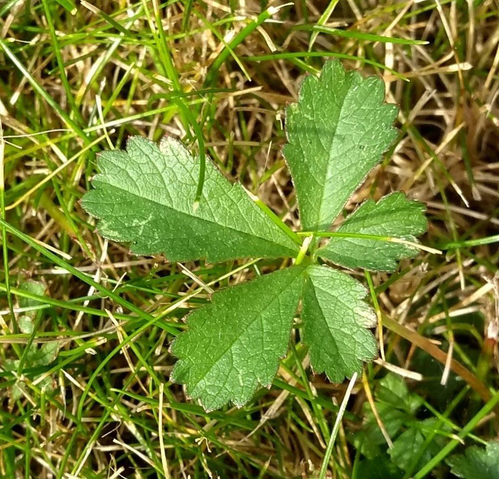 Creeping cinquefoil leaves