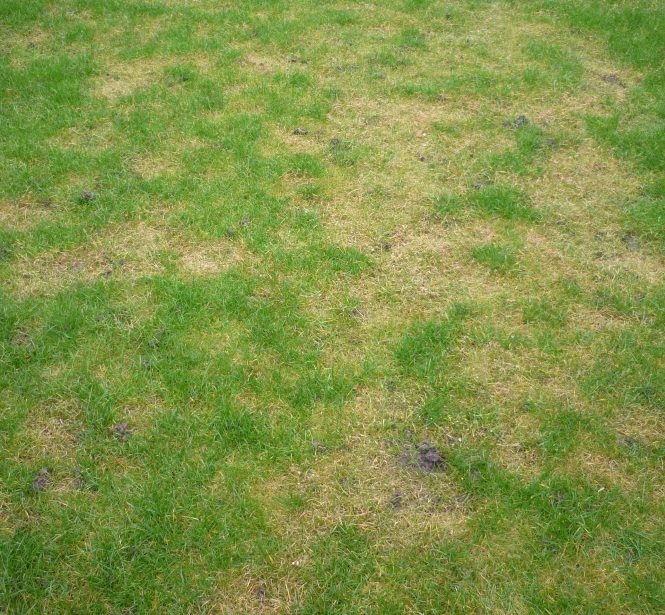 Red Thread Disease on a lawn