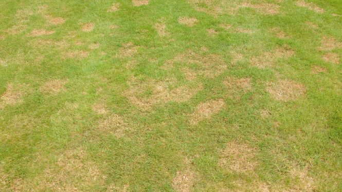 A lawn infected with Red Thread fungal disease