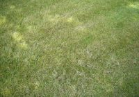 A lawn mown with blunt mower blades