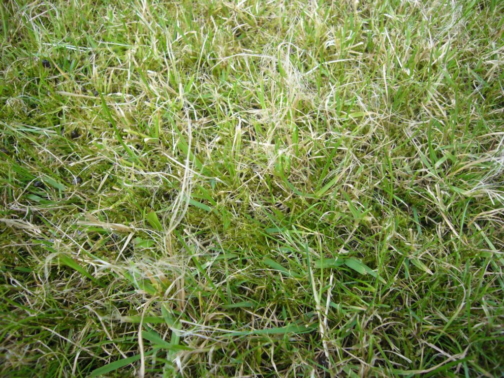 Ripped grass caused by blunt mower blades