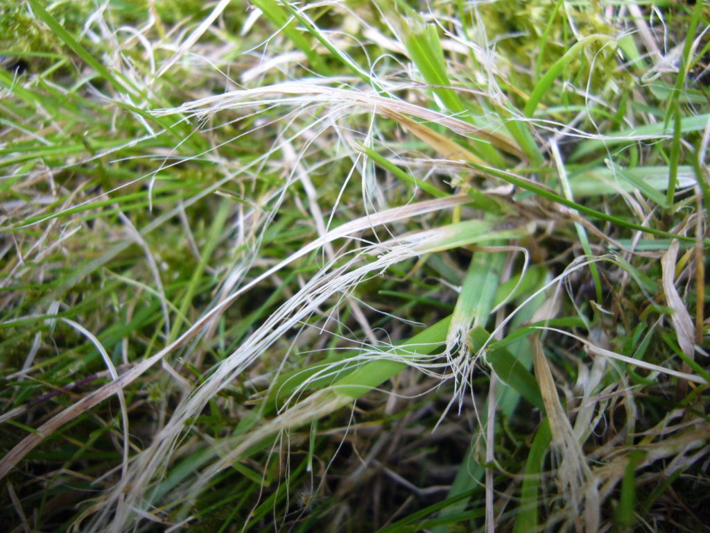 Close up of ripped grass caused by blunt mower blades