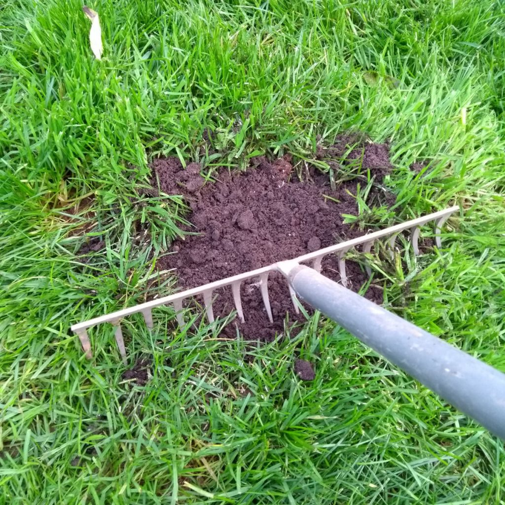 Lawn patch repair - 8. Raking your lawn patch repair to flatten it