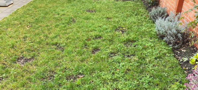 Lawn weeds in front lawn