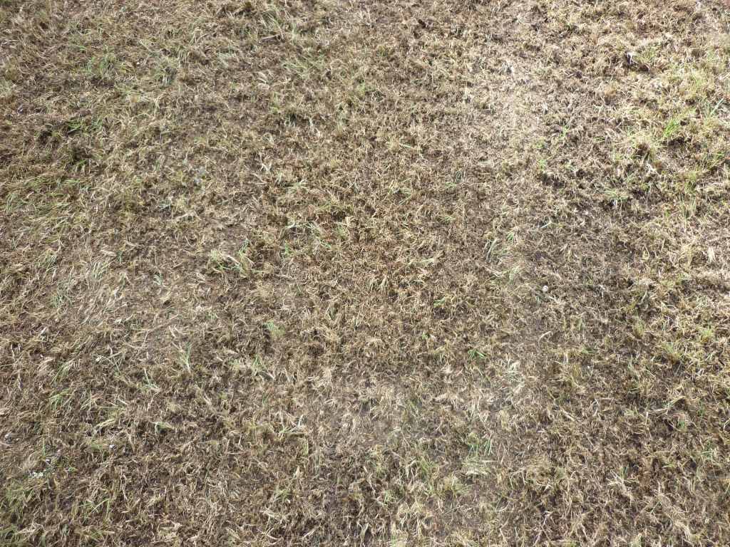 Lawn regeneration - Scarified lawn