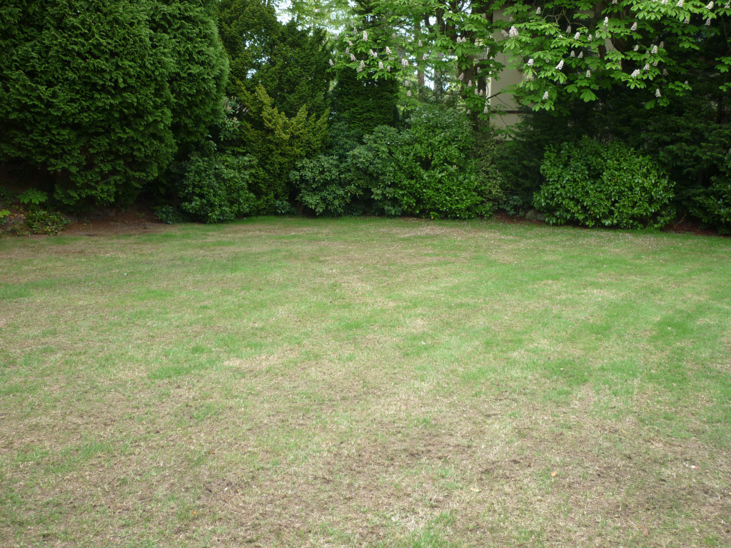Lawn regeneration - A couple of weeks later