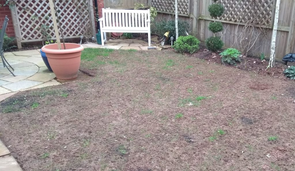 Leatherjacket lawn damage