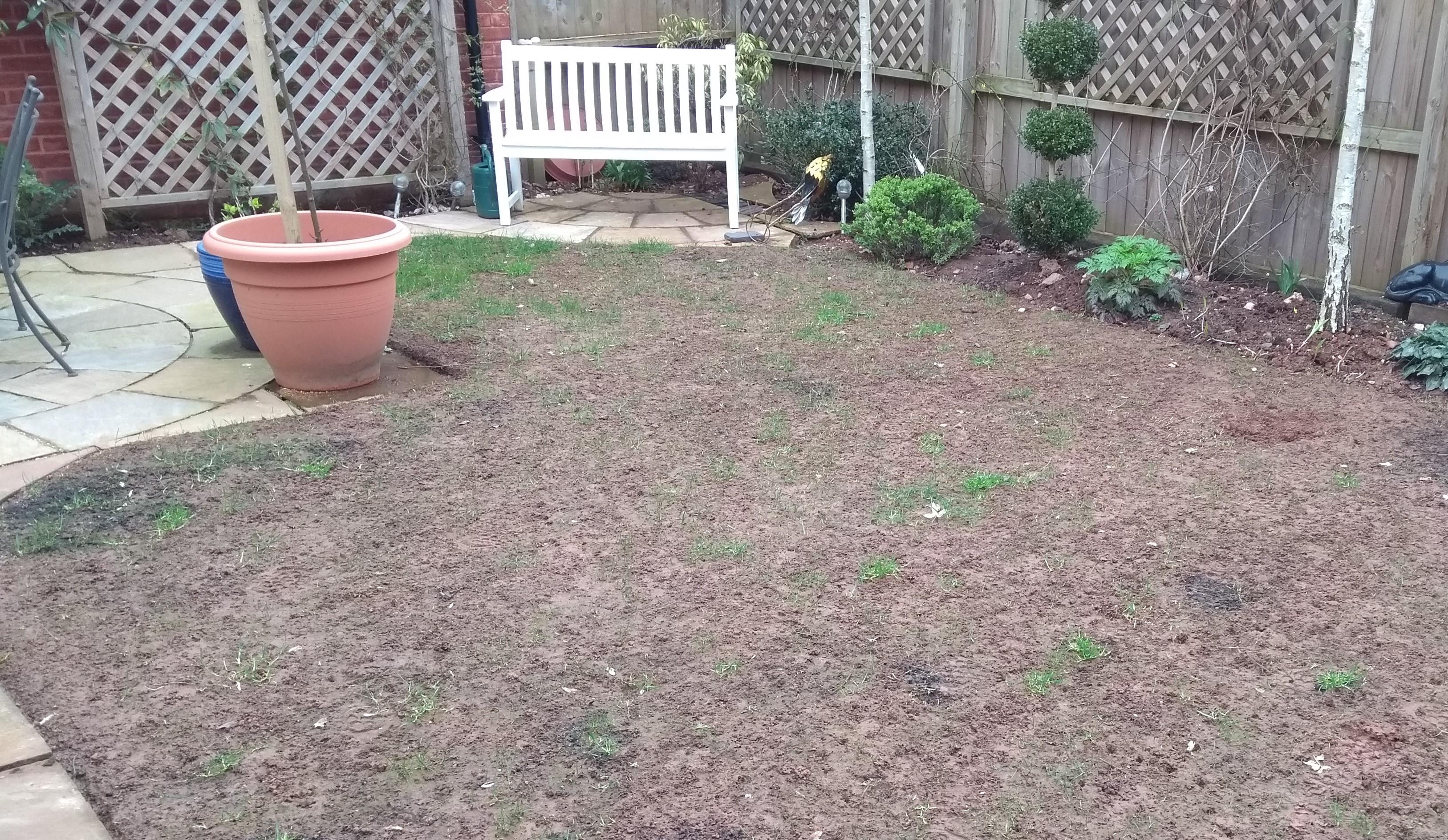 Leatherjacket lawn damage