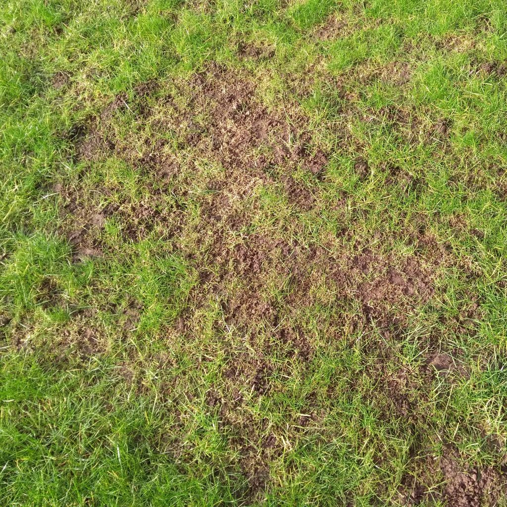 Leatherjacket damage on grass