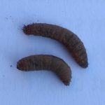 Two leatherjacket grubs