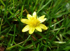Lesser Celandine Flower