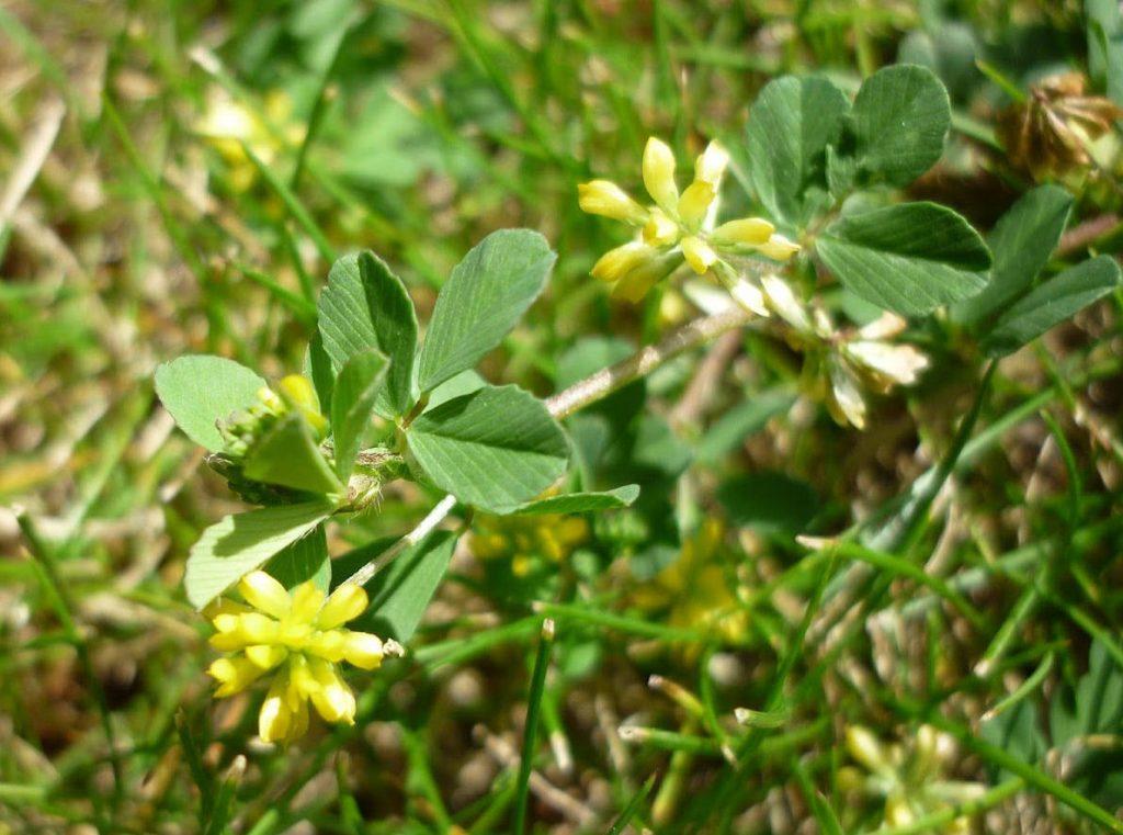 Lesser Trefoil leaves