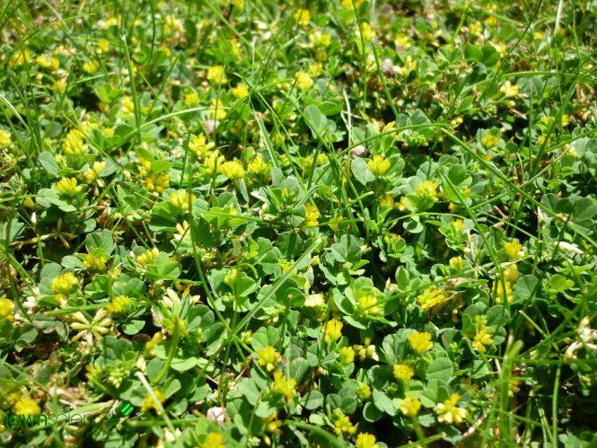 Lesser Trefoil Plants