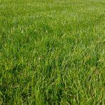 Long lawn grass
