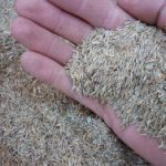 Loose grass seed