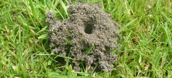 The entrance to a mining bee nest