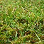 Moss in grass