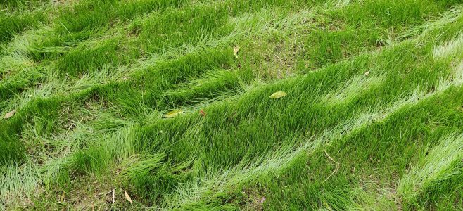 Bending the grass over when mowing a new lawn.