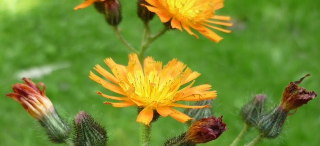 A stem of Orange Hawkweed buds and flowers