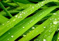 Rain on grass leaves
