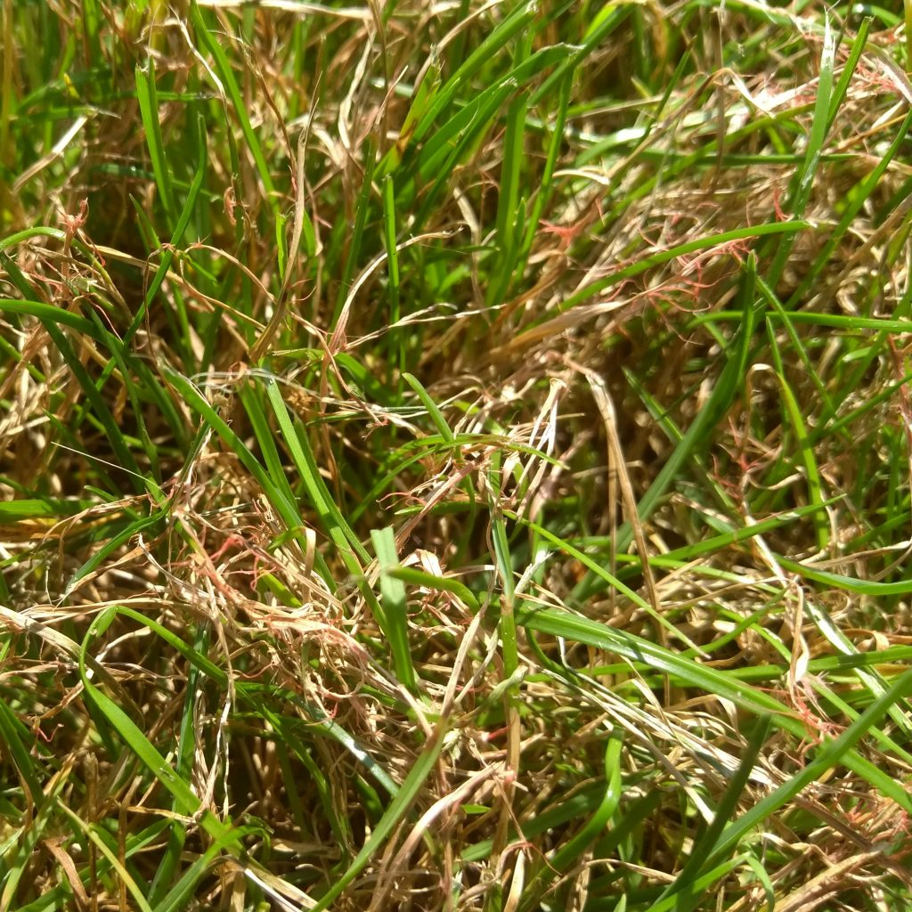 Fungal filaments on grass leaves